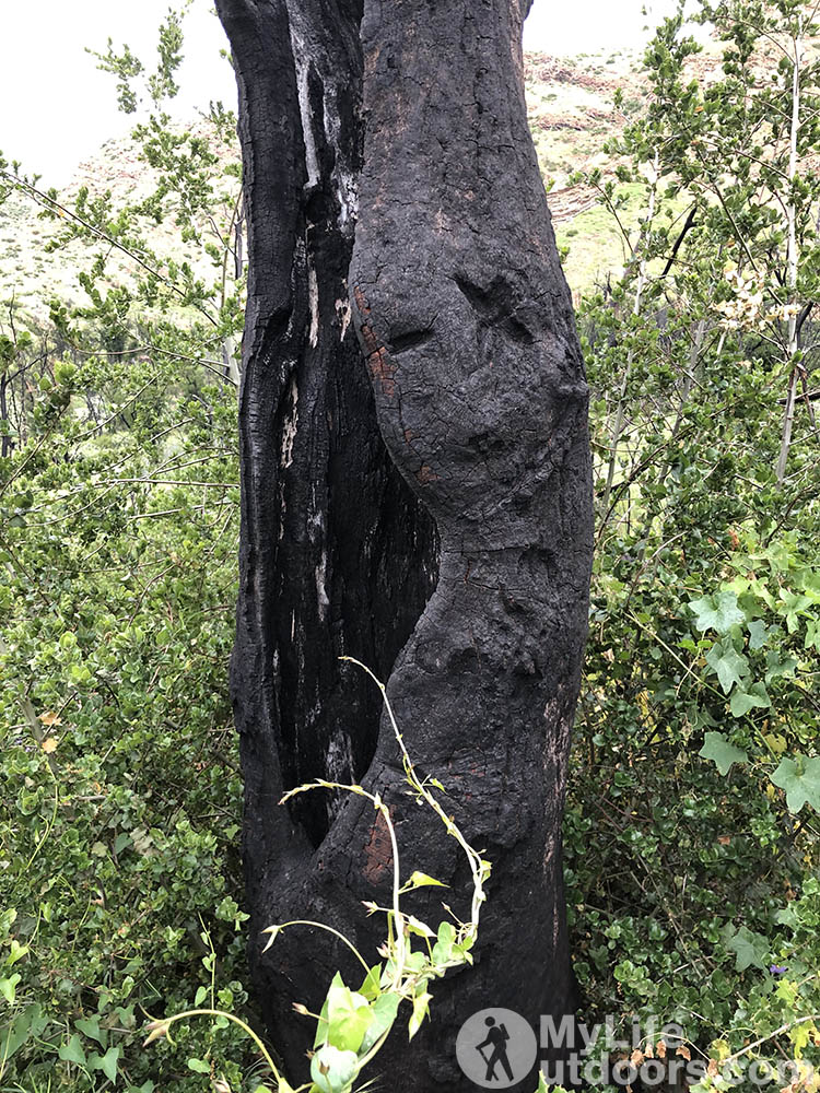 Burnt Tree from the 2017 Thomas Fire