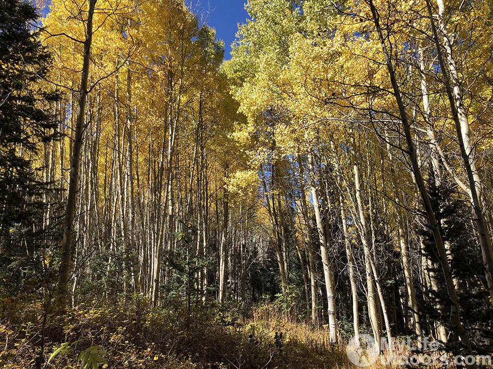 Fall Color Aspen Grov