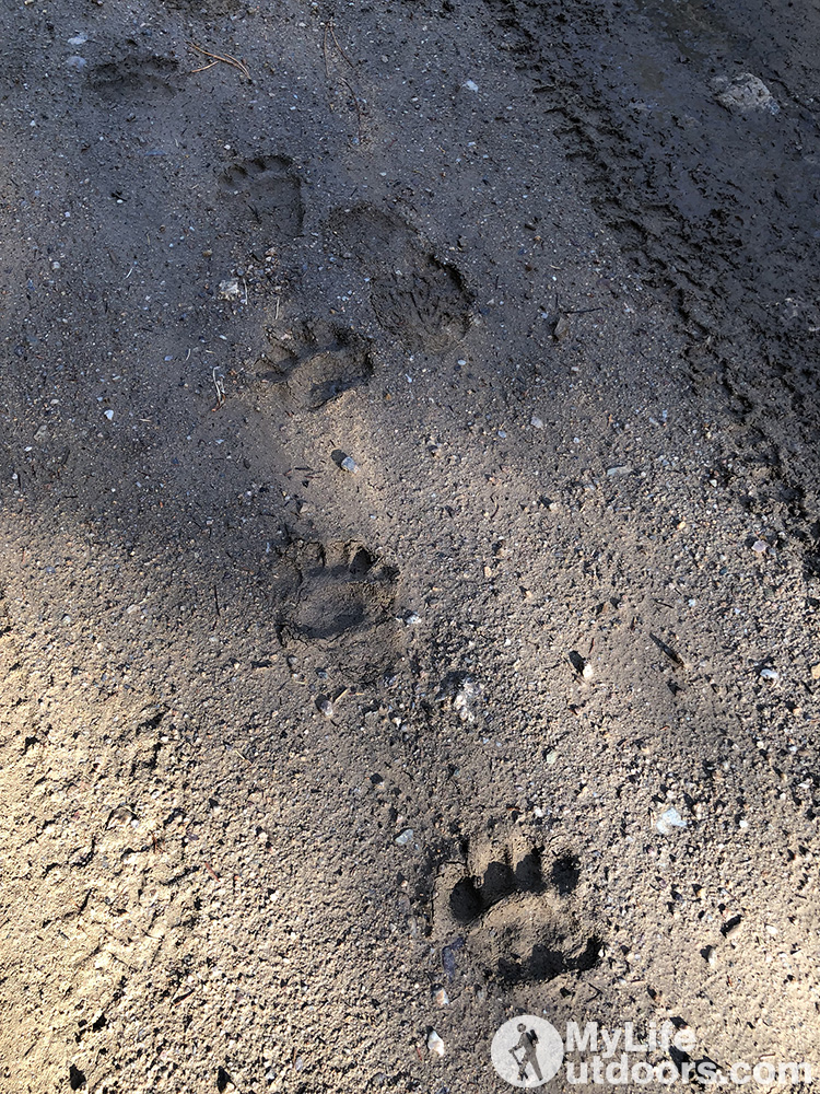 Bear Tracks in the Road